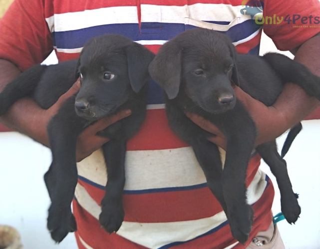 LAB BLACK PUPPIES AVAILABLE???? MALE