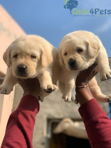 Labrador ultimate quality male puppies available