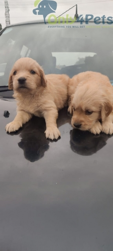 Quality Golden puppies