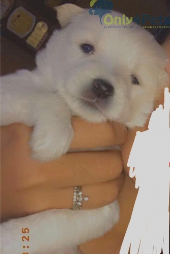pomerian puppies for sale