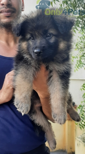 German Shepard female pup available for sale