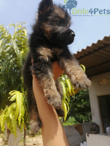 Double coat gsd puppies available