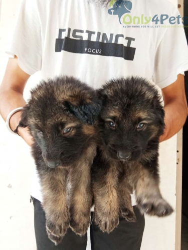 Puli heavier aur long coat gsd puppies are available for sale