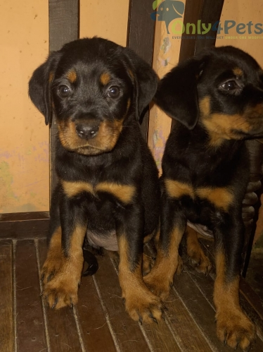 Rottwiler female puppy available for sale