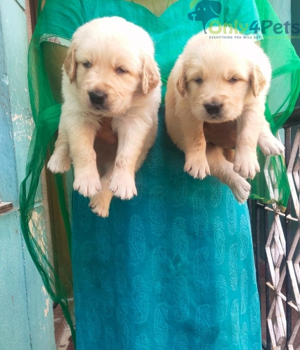 Good quality... Dark color .... Golden retriever male and female puppies... available for sale.