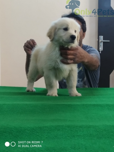 Golden retriever kci registed available