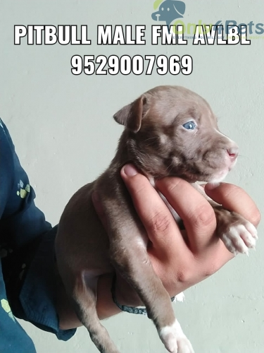 pitbull for sale
