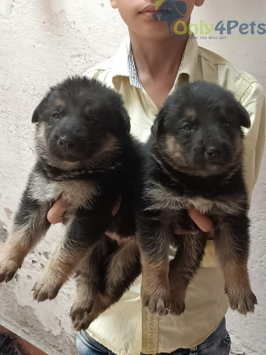 Gsd long coat male female sale