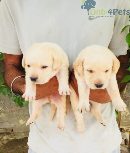 Lab 2 male.  2 female available for sale