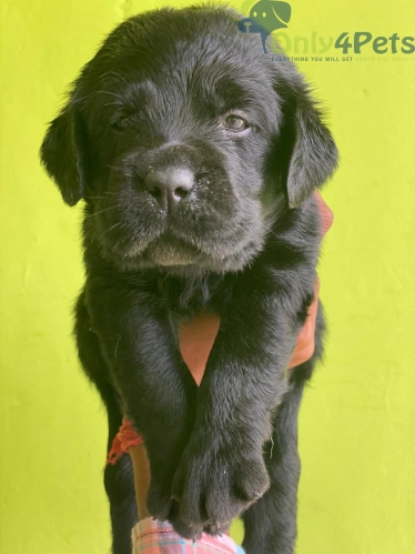 3 male available        1 male black             2golden