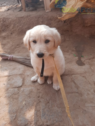 Golden retriever  female puppies available