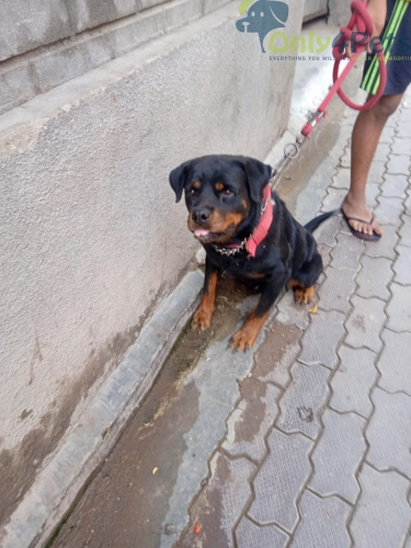 Rottweiler female for sale and exchange