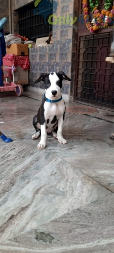 5 months old Top quality am. Bully* Pitbull vaccinated female