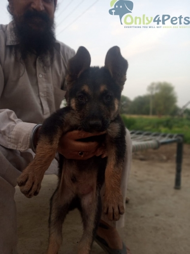 German Shepherd puppy available male sale