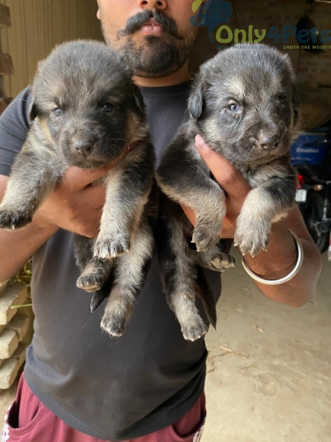 Gsd puppy   3 male 1 female puppy available for sale
