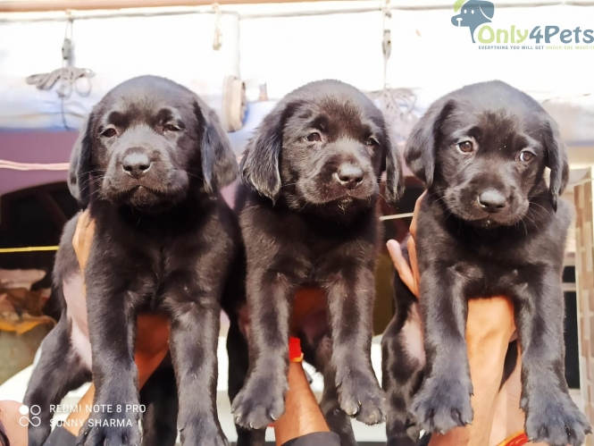 lab male/female Z black available for sale
