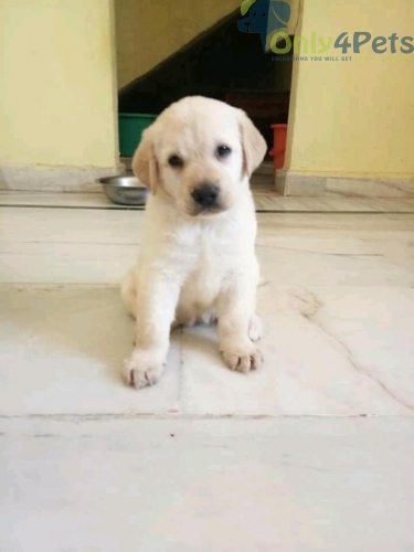 Show quality lab pug gsd Bengal golden retriever male and female puppies