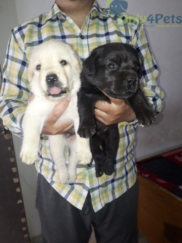 2 male pup lab for sale in Amritsar