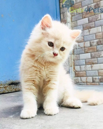 PERSIAN CAT AVAILABLE