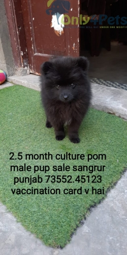 Culture pom for sale