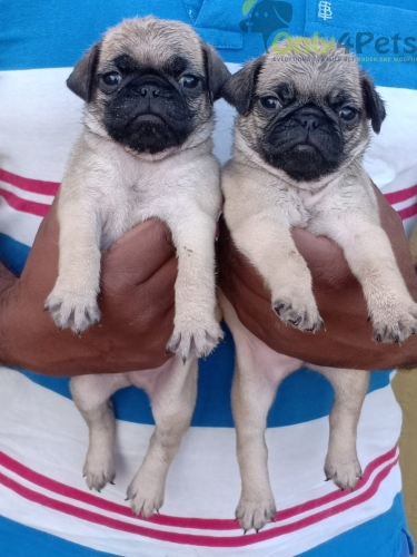 pug puppy available in Bangalore