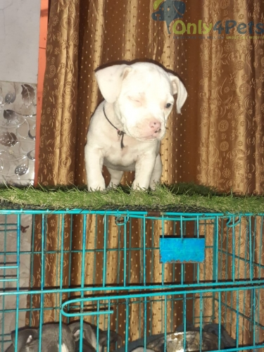Heavy quality American bully femal available