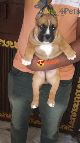 American Bully male fown puppy. ( Heavyweight, super duper quality).????