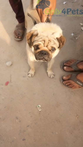 pug male available for sale