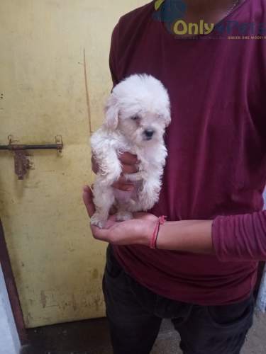 Toy Poodle Male Puppy Top Quality