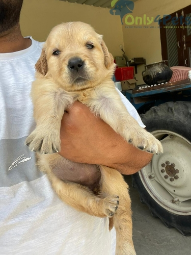 Top quality golden retriever female pup available for sale