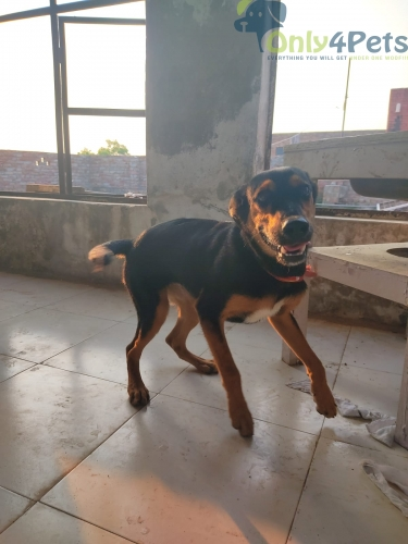 Selling Rottweiler bitch