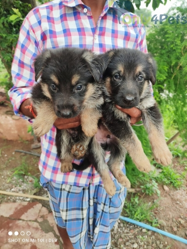 German Shepherd male puppy available????