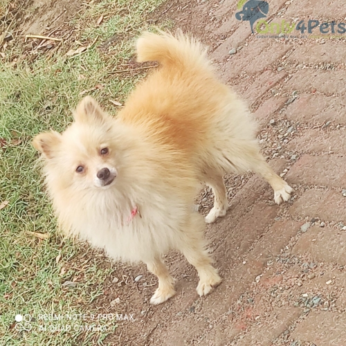 Pomeranian for sale Male stud sale