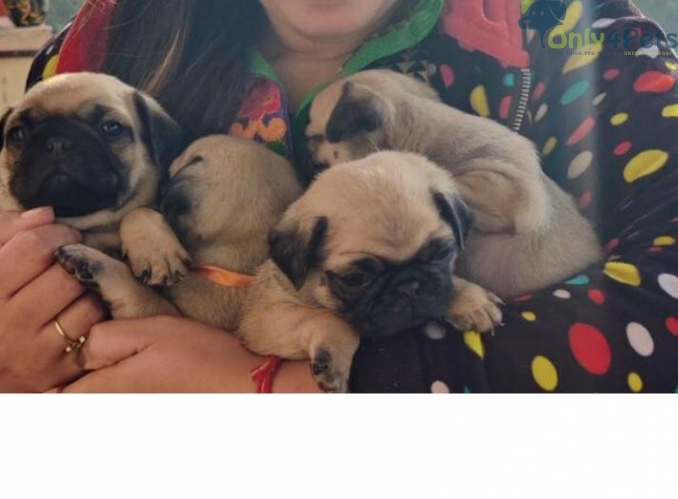Pug litter available