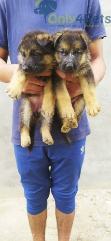 Gsd top quality pup available 1male 2female
