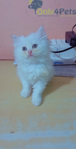 Persian Kitten For Sale????????