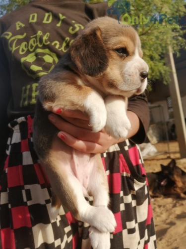 Beagle female puppy available in reasonable rate.