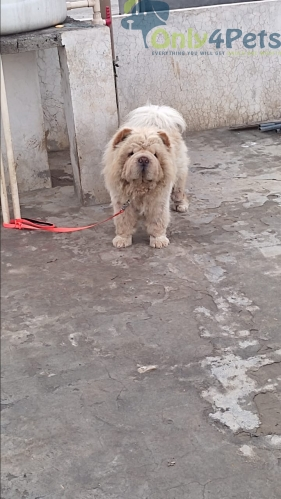 Import quality stud services available... Chow chow and golden retriever