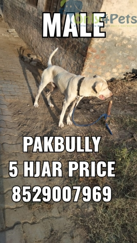 pak bully for sale
