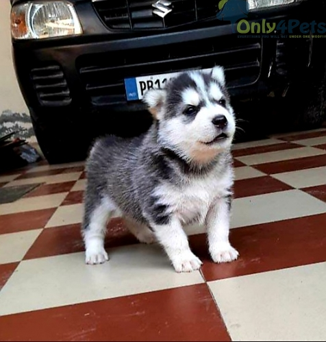 Siberian husky pup available