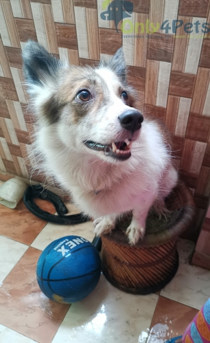 3 years old Indian Spitz dog for sale