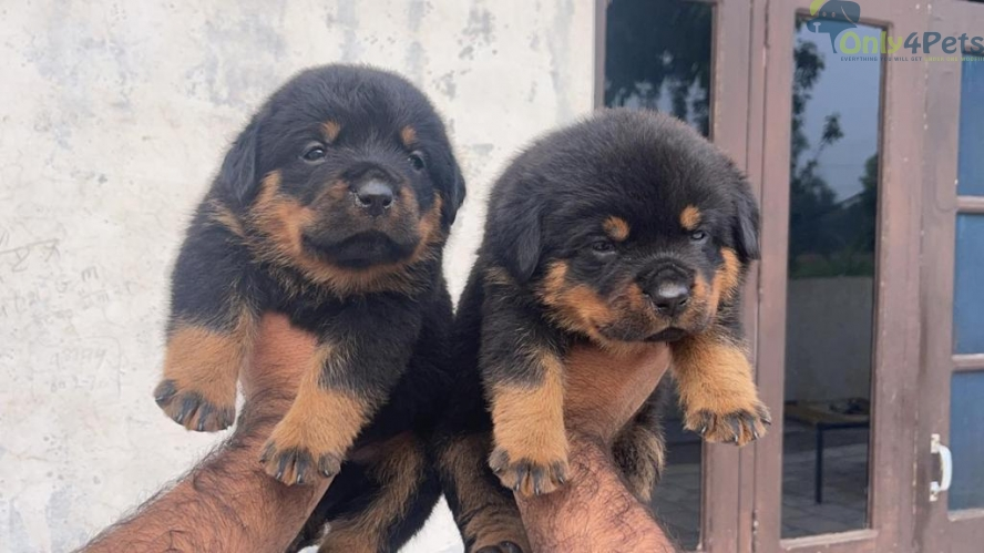 Fully heavy quality Rottweiler mail and female puppy sale