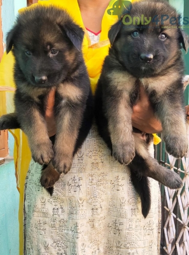 German Shepherd puppy available