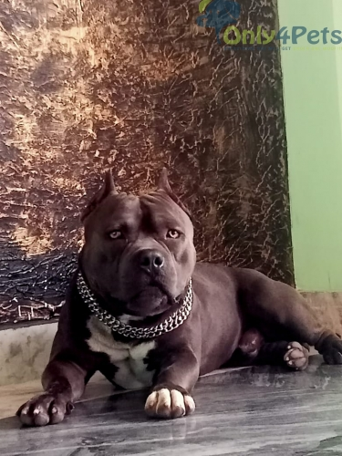 American bully stud for sale