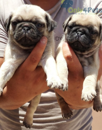 PUG PUPPIES AVAILABLE IN BANGALORE