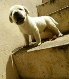 Labrador male puppy available