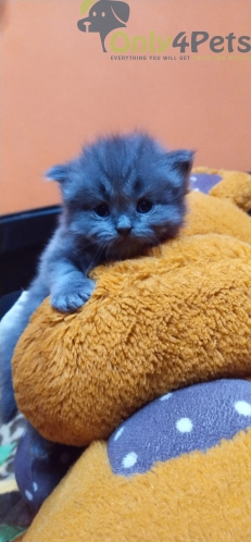 Semi punch Perisan kittens for sale in Chennai