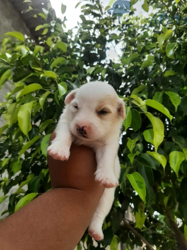 Pom male for sale l