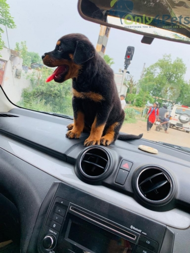 Rottwieller male puppy.   ????️ Good quality AVAILABLE.
