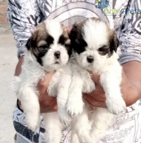 SHITHU PUPPY AVAILABLE 3 MALE 2 FEMALE